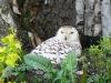Sovice sněžná (ZOO Ohrada)